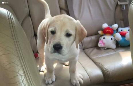如何训练拉布拉多犬?专业人士告诉你!